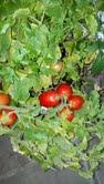 Indoor Tomato Plants 1