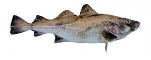 Lemon Poached Cod