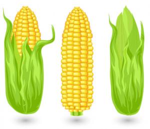 Ears of ripe corn